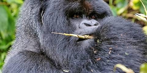 5-Day Gorilla Trekking Tour in Rwanda and Uganda