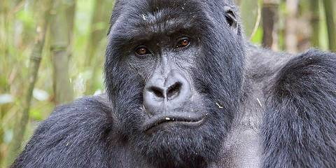 Wildlife with Gorillas and Chimpanzees