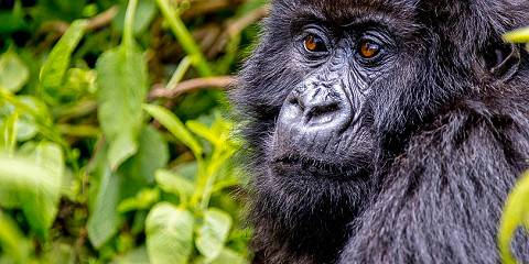 3-Day Best Package of Rwanda Gorilla Trekking Tour
