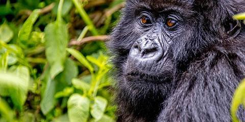 3-Day Best Package of Rwanda Gorilla Trekking Tour