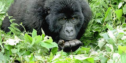 3-Day Gorilla Tracking in Volcanoes National Park