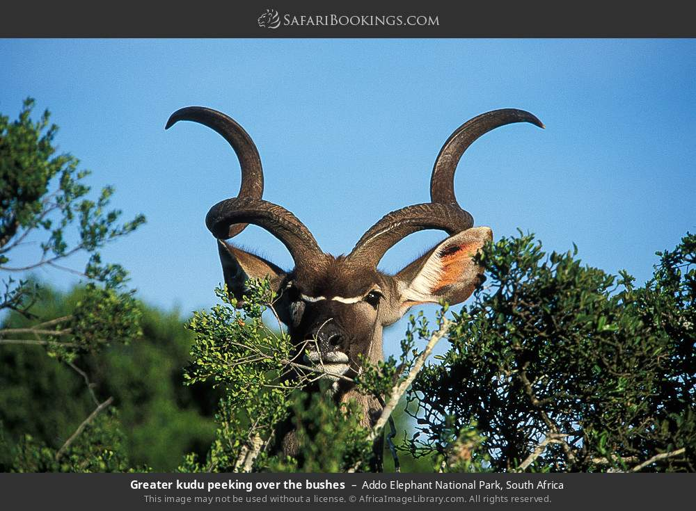 Greater kudu peeking over the bushes in Addo Elephant National Park, South Africa