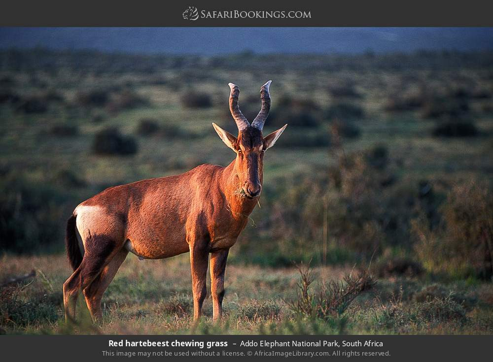 Red hartebeest chewing grass in Addo Elephant National Park, South Africa