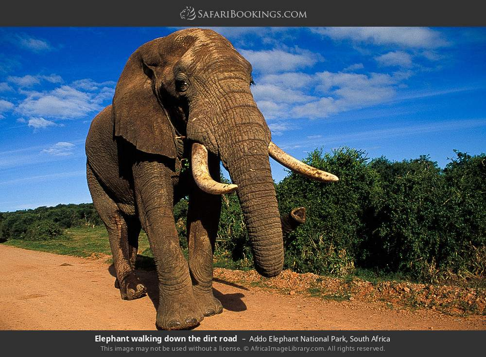 Elephant walking down the dirt road in Addo Elephant National Park, South Africa