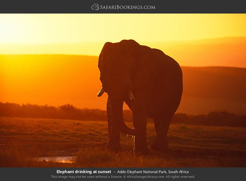 Elephant drinking at sunset in Addo Elephant National Park, South Africa