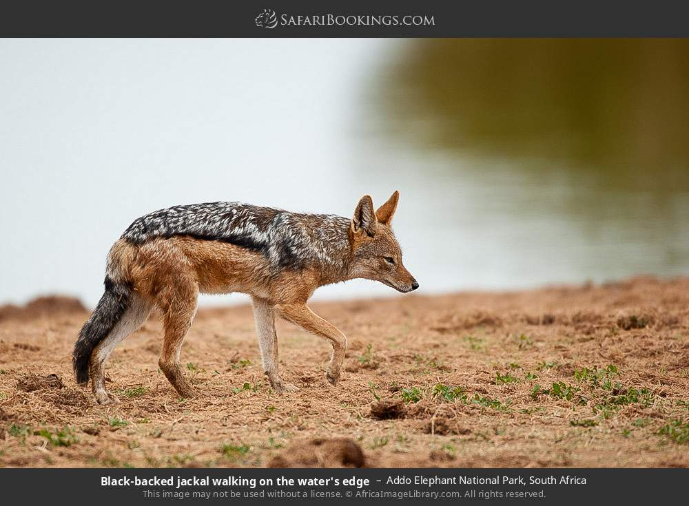 Black-backed jackel walking on the water's edge in Addo Elephant National Park, South Africa