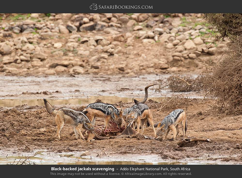 Black-backed jackals scavenging in Addo Elephant National Park, South Africa