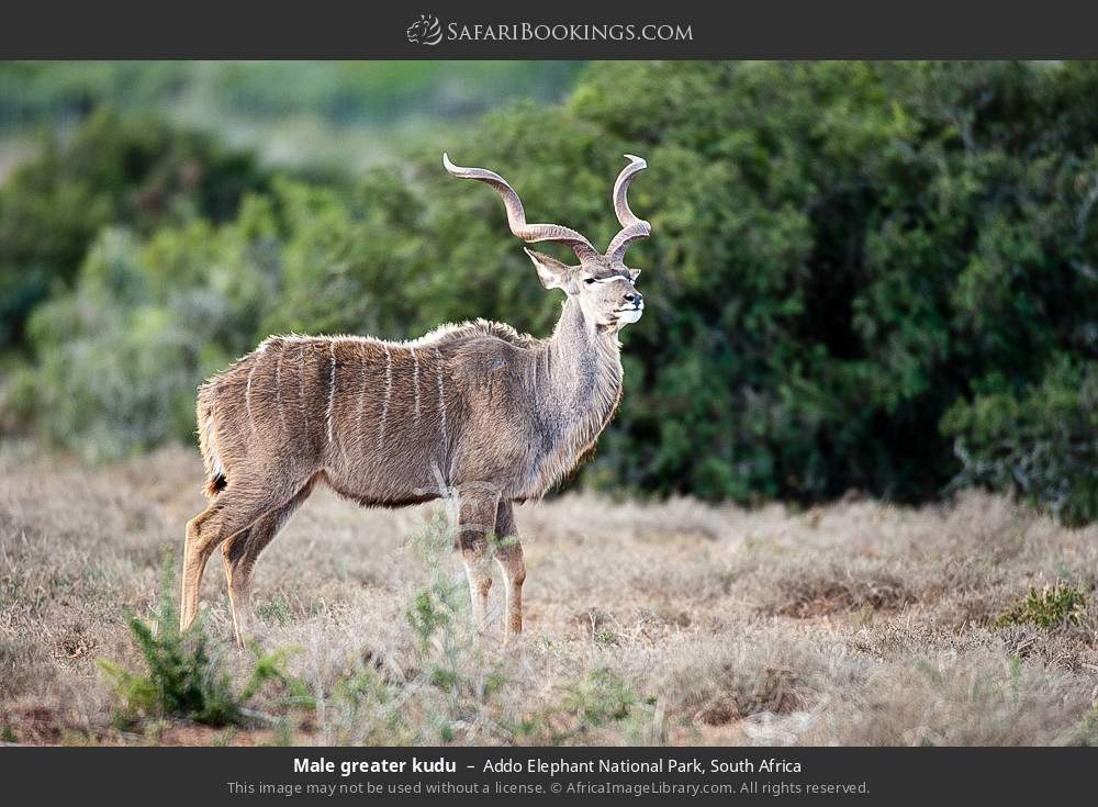 Male greater kudu in Addo Elephant National Park, South Africa