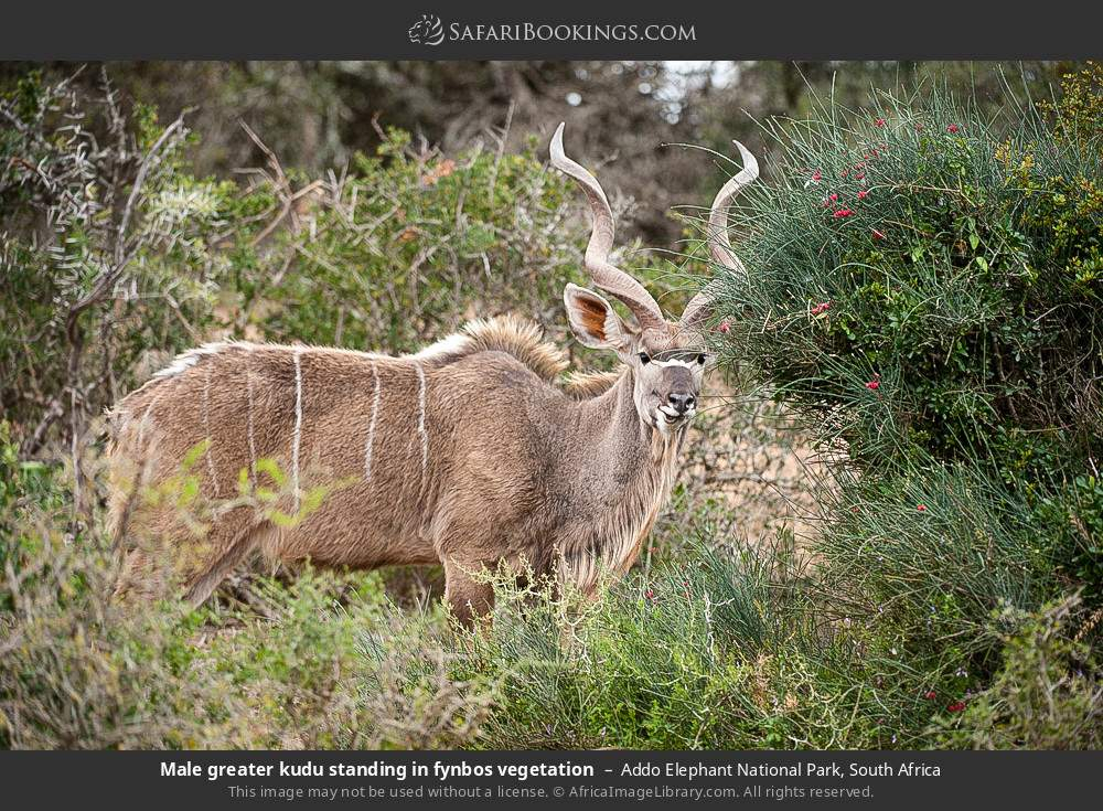 Male greater kudu standing in fynbos vegetation in Addo Elephant National Park, South Africa