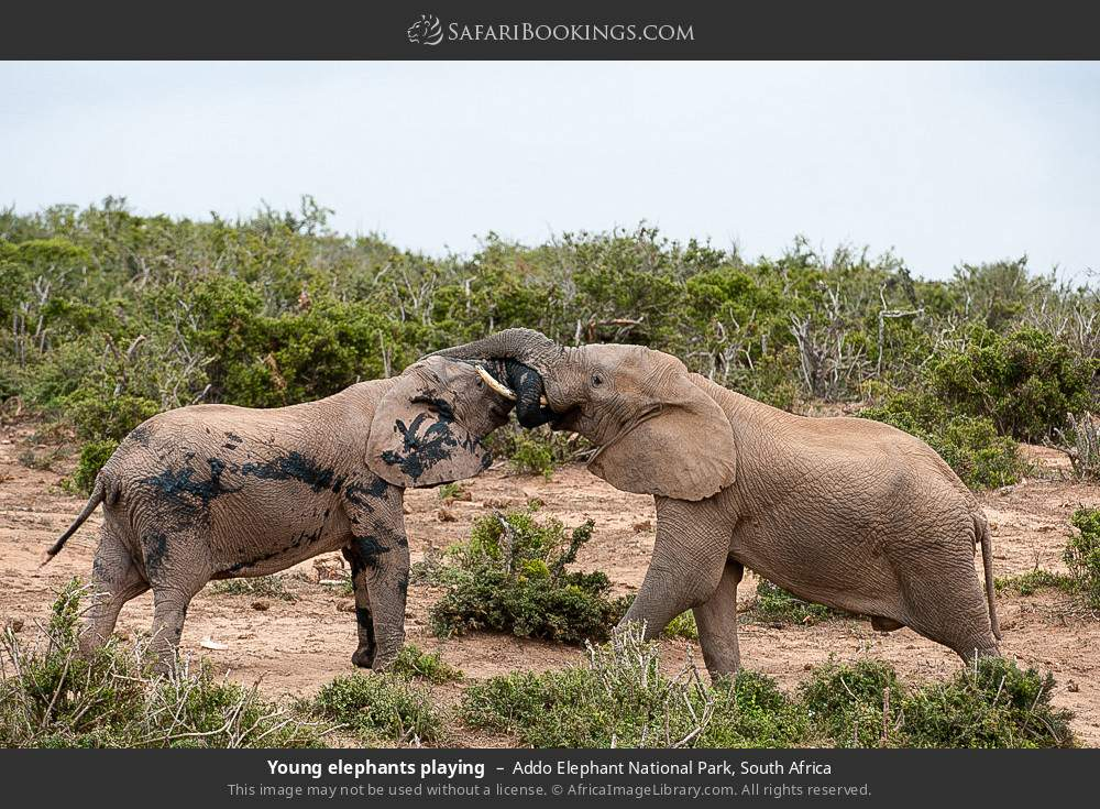 Young elephants playing in Addo Elephant National Park, South Africa