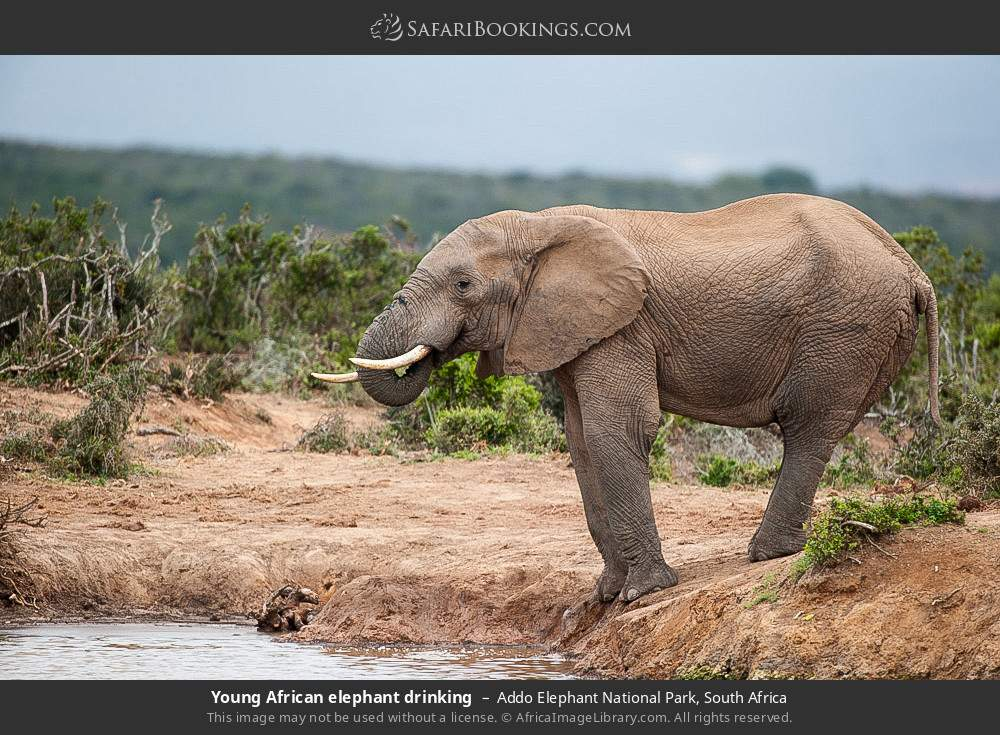 Young African elephant drinking in Addo Elephant National Park, South Africa