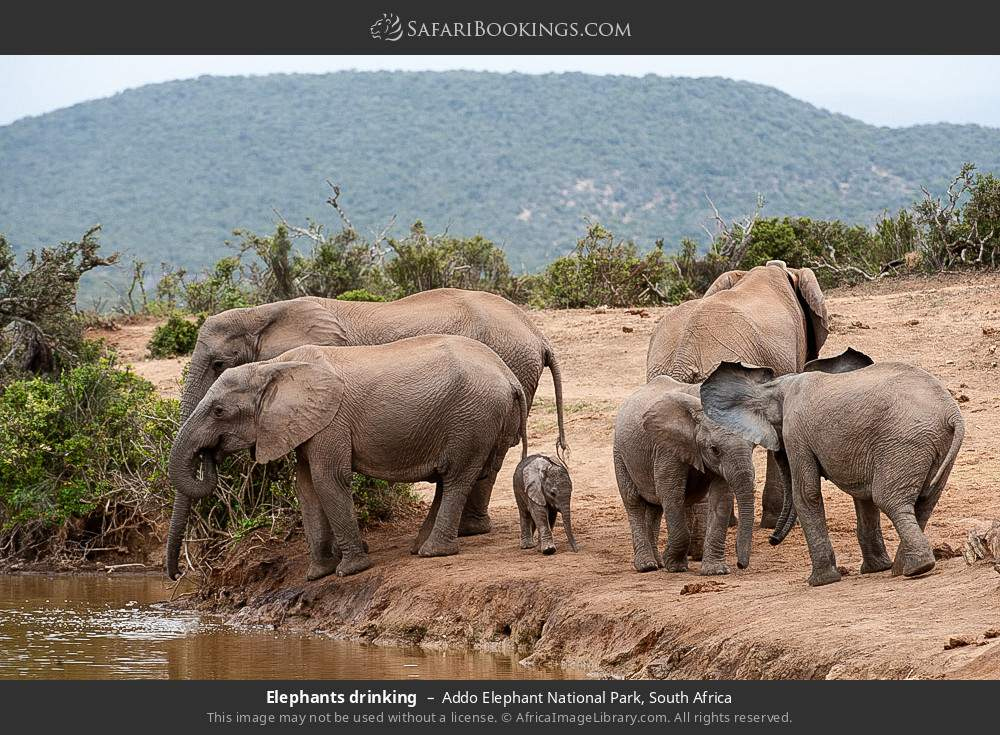 Elephants drinking in Addo Elephant National Park, South Africa
