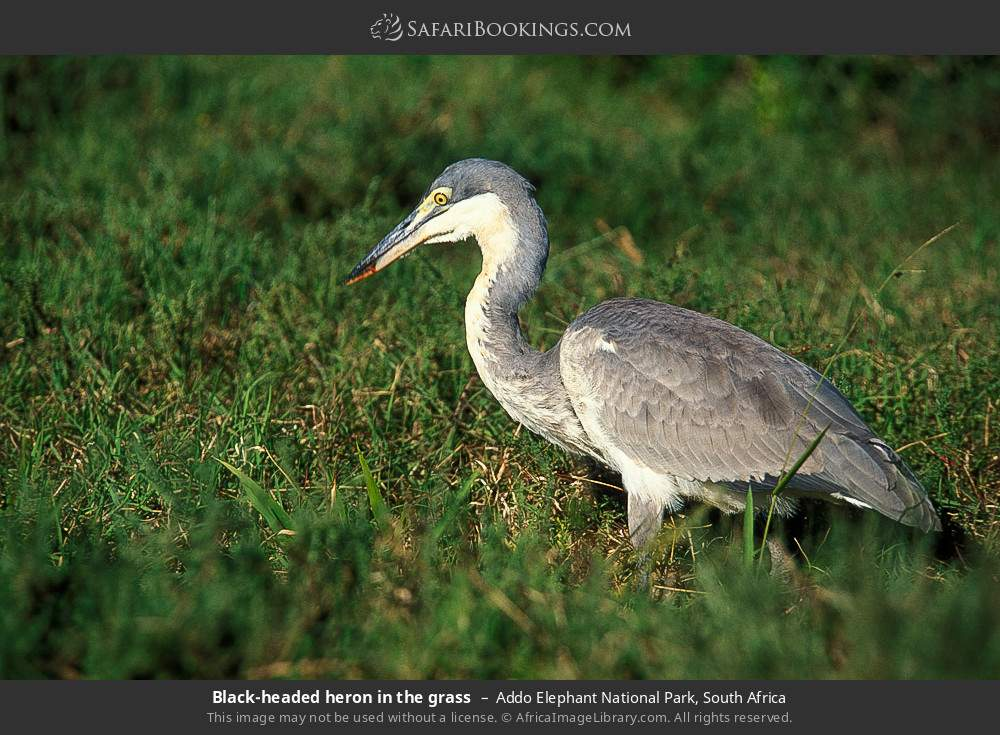 Black-headed heron in the grass in Addo Elephant National Park, South Africa