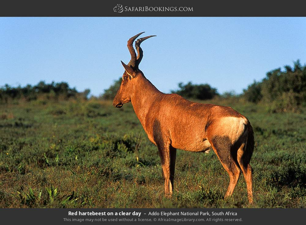 Red hartebeest on a clear day in Addo Elephant National Park, South Africa