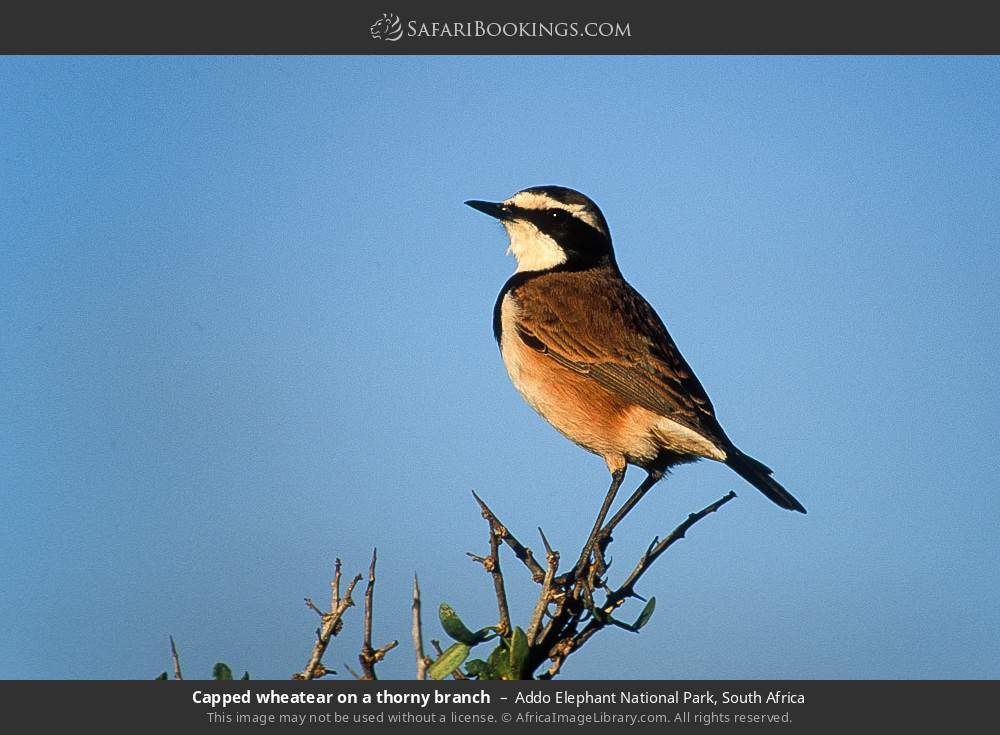 Capped wheatear on a thorny branch in Addo Elephant National Park, South Africa