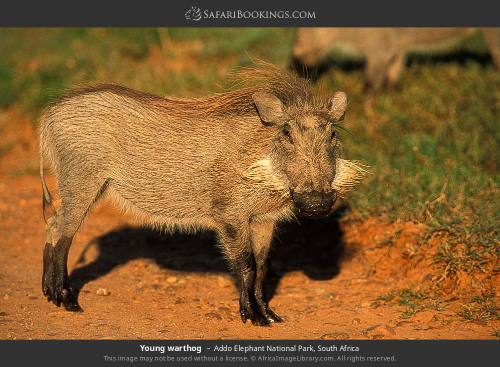 Young warthog in Addo Elephant National Park, South Africa