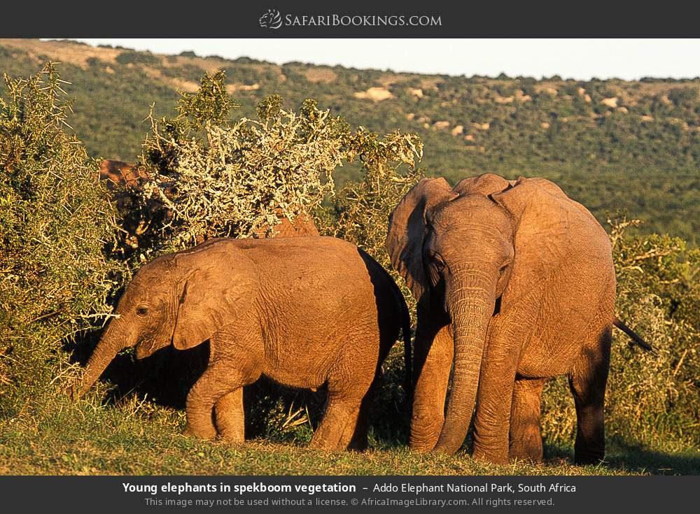 Young elephants in spekboom vegetation in Addo Elephant National Park, South Africa