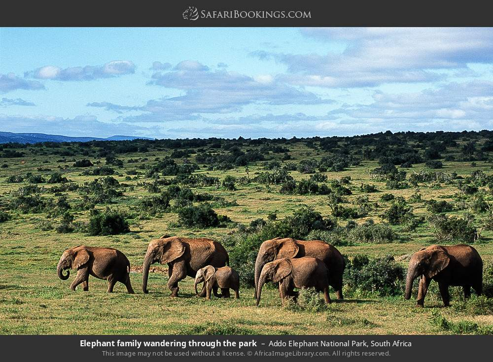 Elephant family wandering through the park in Addo Elephant National Park, South Africa