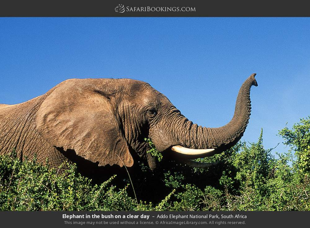Elephant in the bush on a clear day in Addo Elephant National Park, South Africa