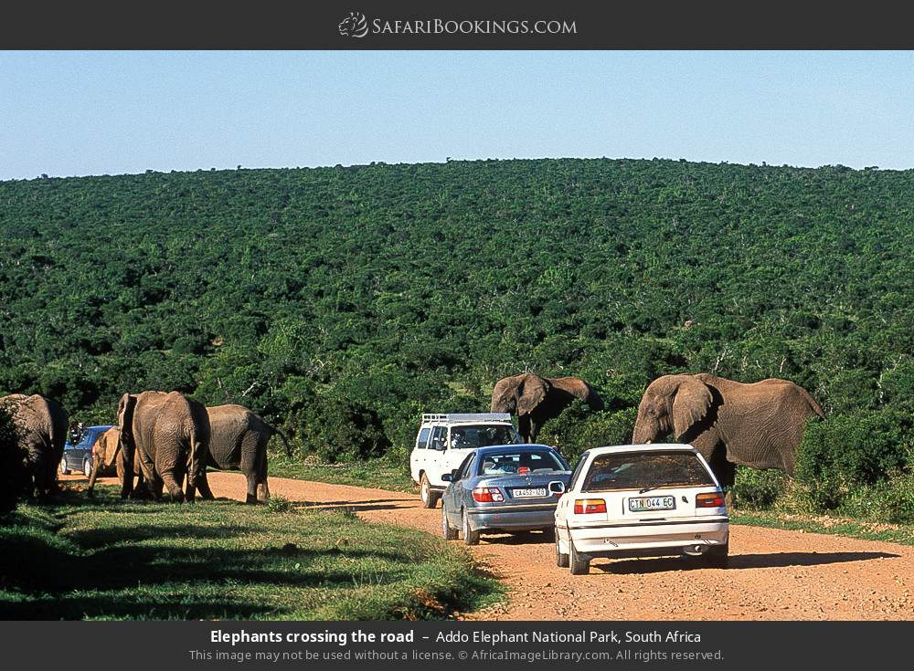 Elephants crossing the road in Addo Elephant National Park, South Africa