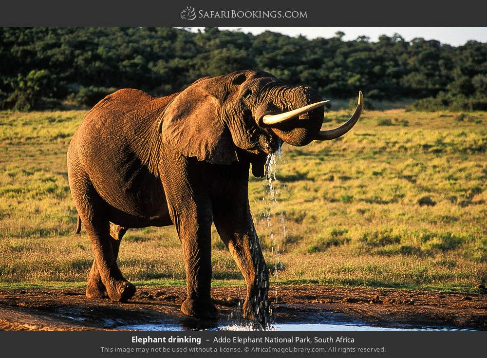 Elephant drinking in Addo Elephant National Park, South Africa
