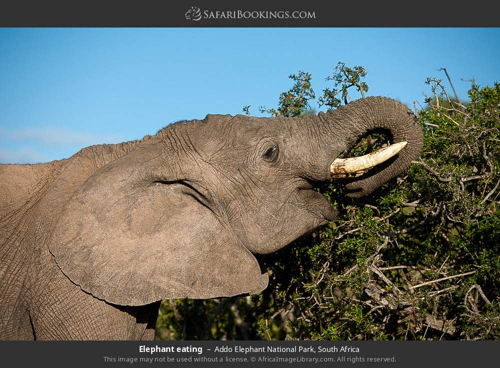 Elephant eating in Addo Elephant National Park, South Africa