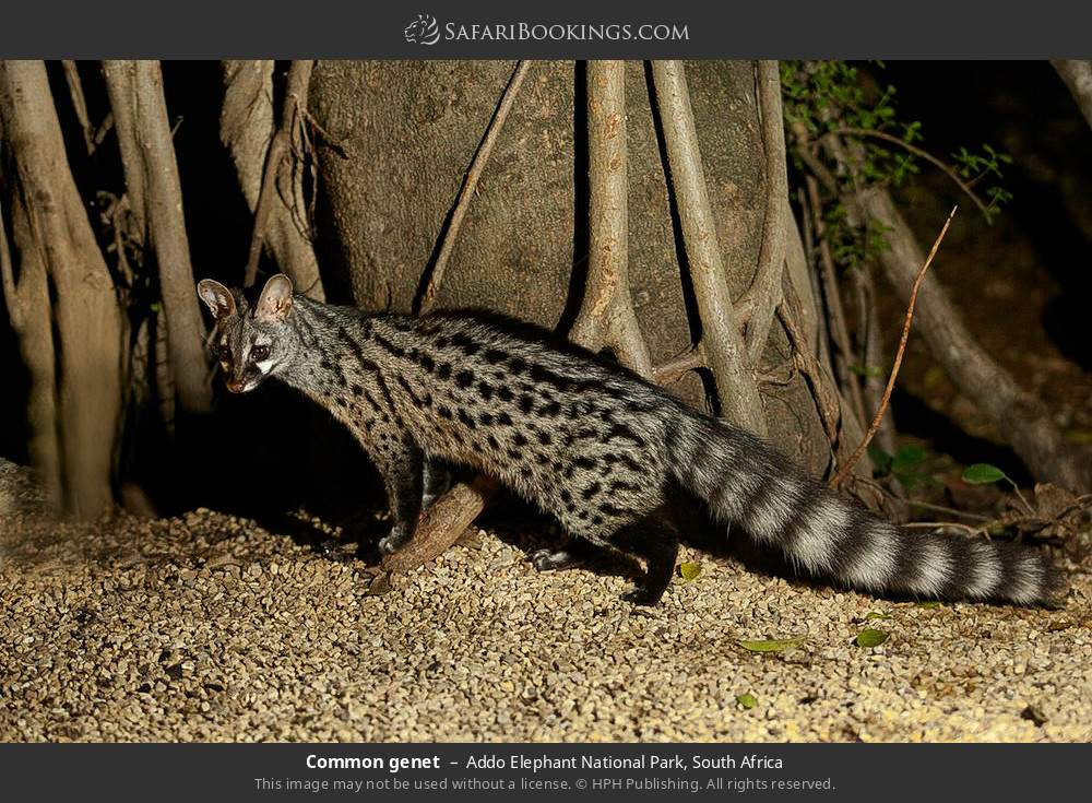 Common genet in Addo Elephant National Park, South Africa