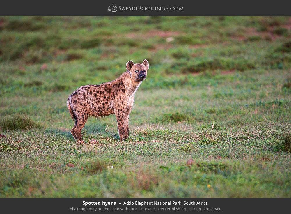 Spotted hyena in Addo Elephant National Park, South Africa
