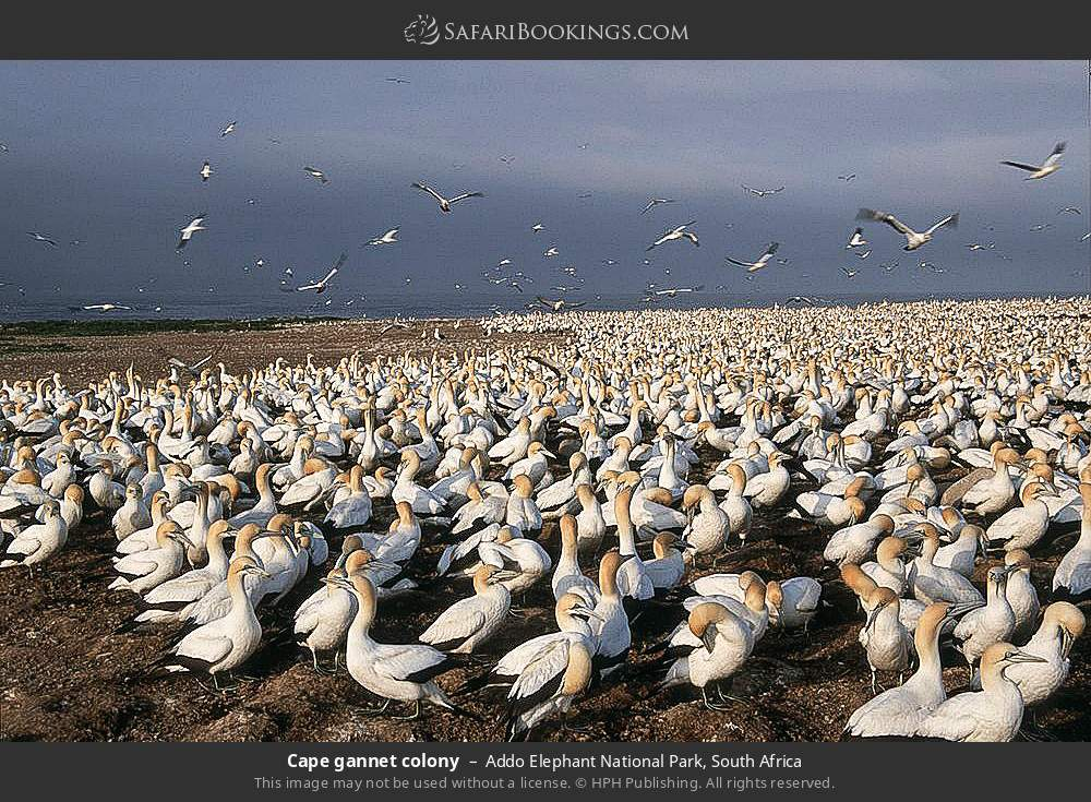 Cape gannet colony in Addo Elephant National Park, South Africa