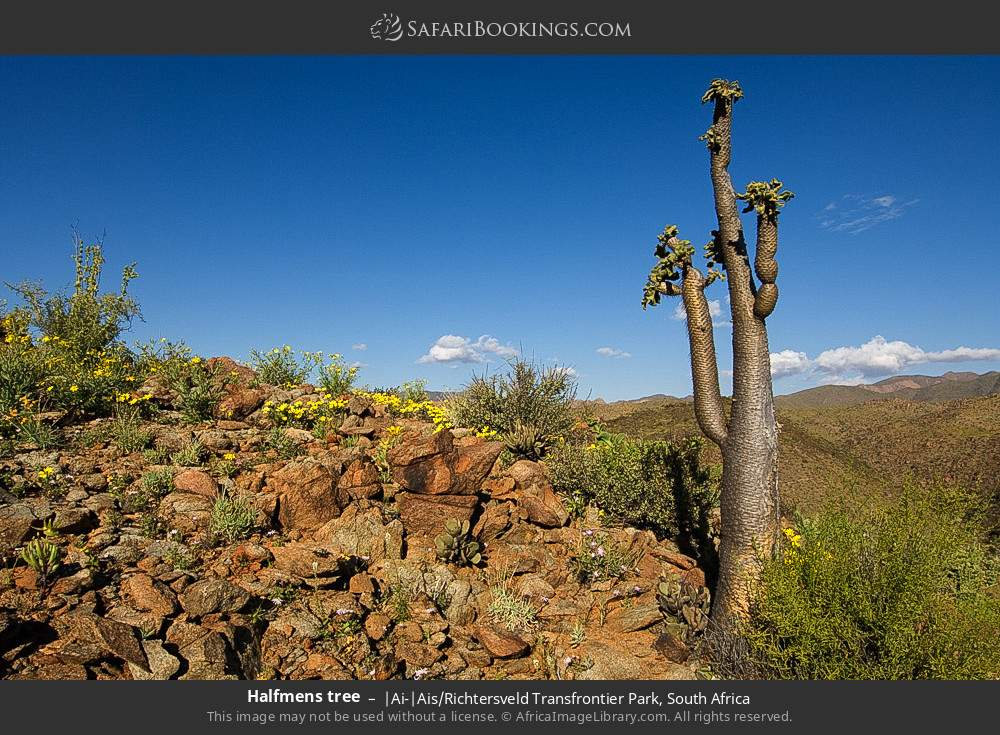 Halfmens tree in |Ai-|Ais Richtersveld Transfrontier Park, South Africa
