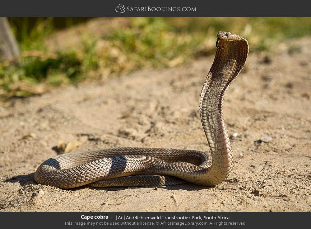 Cape cobra in |Ai-|Ais Richtersveld Transfrontier Park, South Africa
