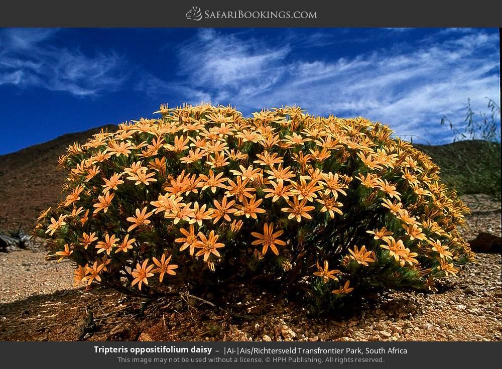 Tripteris oppositifolium daisy in |Ai-|Ais Richtersveld Transfrontier Park, South Africa