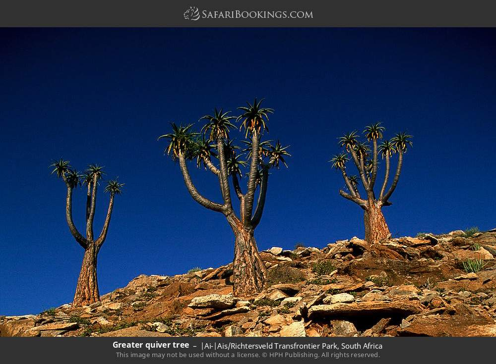Greater quiver tree in |Ai-|Ais Richtersveld Transfrontier Park, South Africa