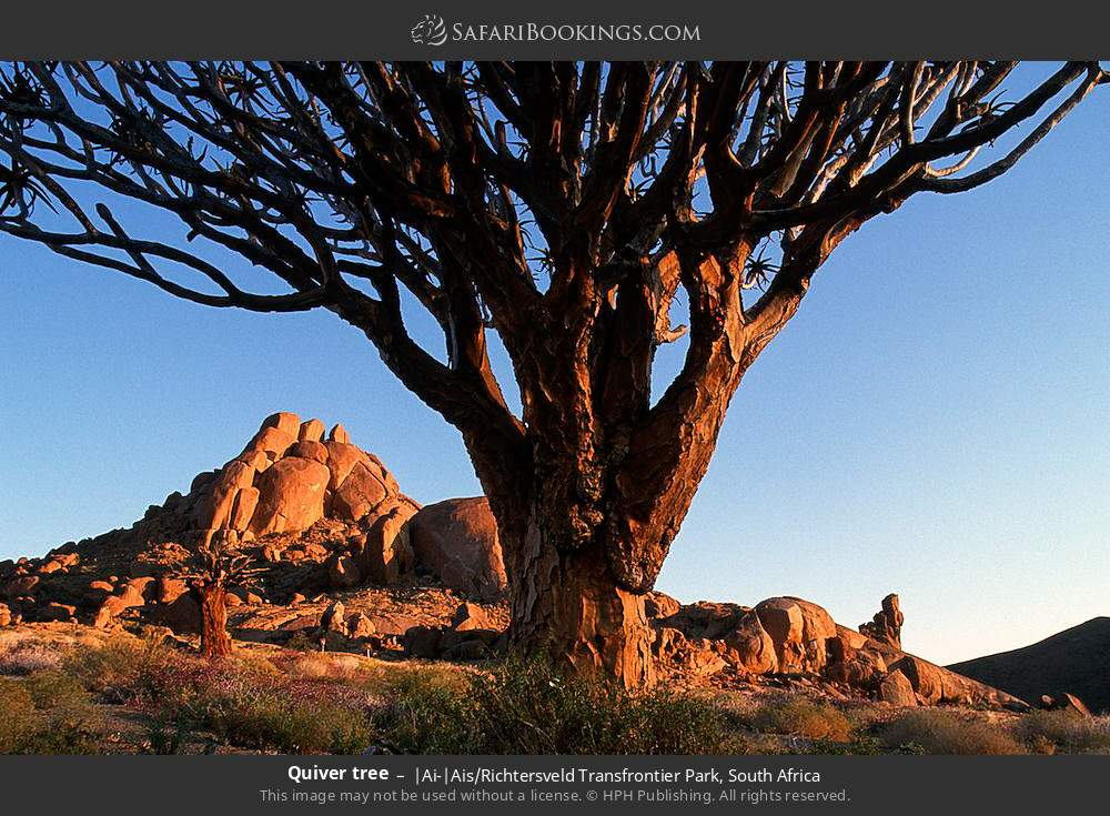 Quiver tree in |Ai-|Ais Richtersveld Transfrontier Park, South Africa