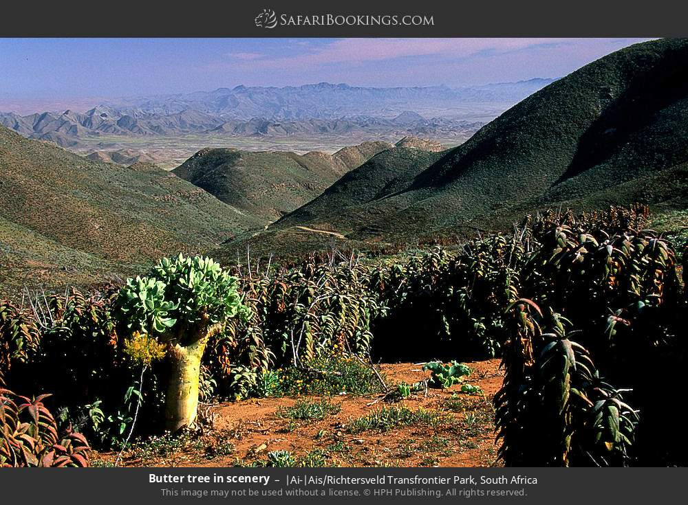 Butter tree in scenery in |Ai-|Ais Richtersveld Transfrontier Park, South Africa