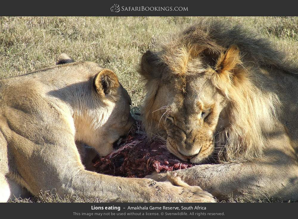 Lions eating in Amakhala Game Reserve, South Africa