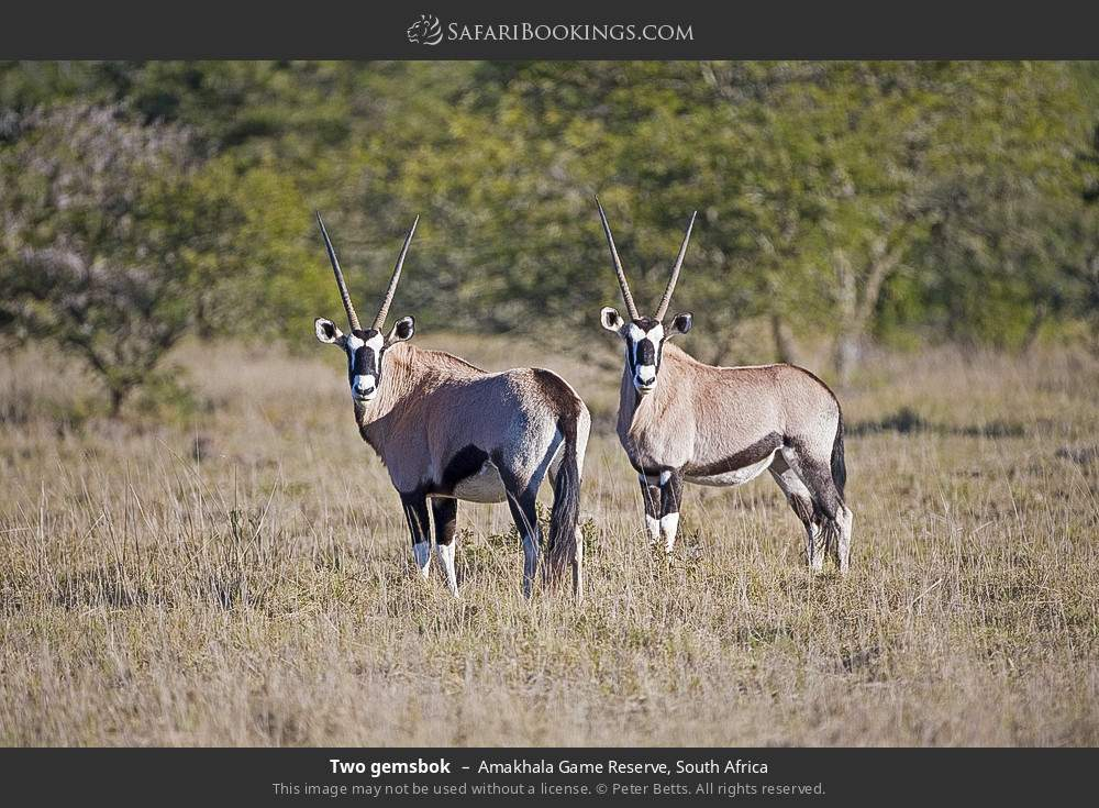 Two gemsbok in Amakhala Game Reserve, South Africa