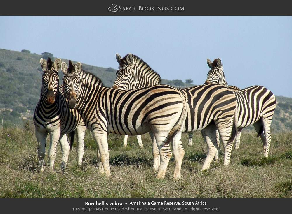 Burchell's zebra in Amakhala Game Reserve, South Africa