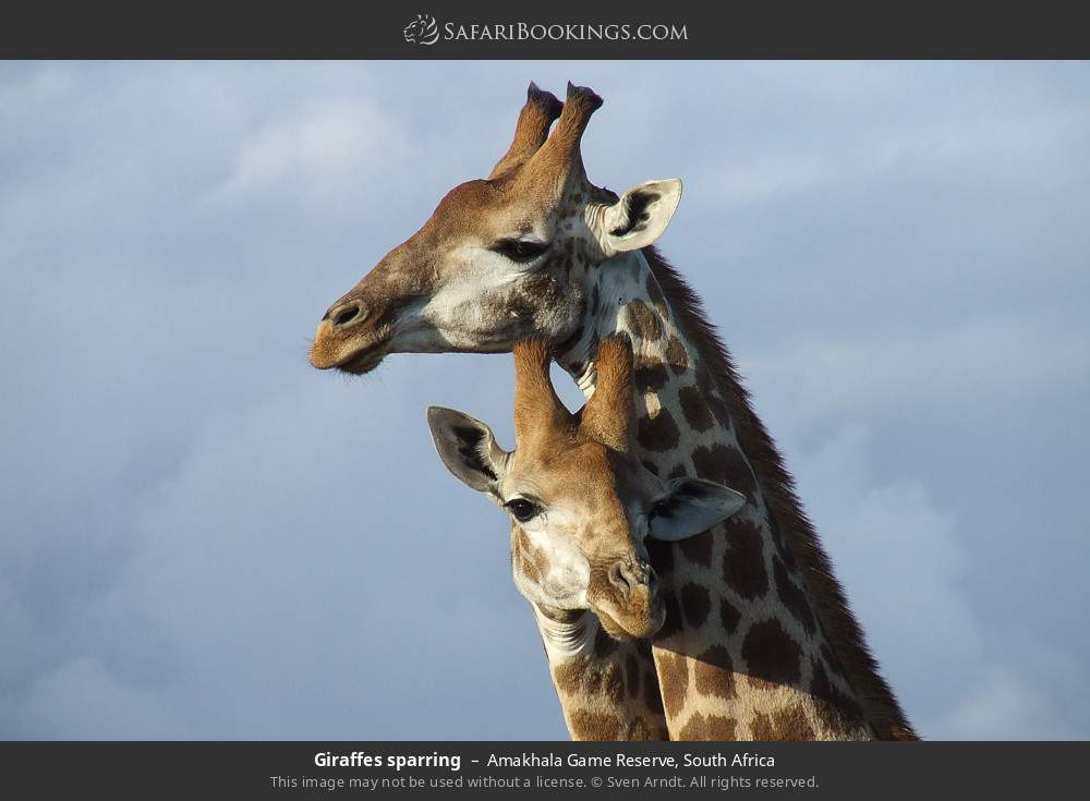 Giraffes sparring in Amakhala Game Reserve, South Africa
