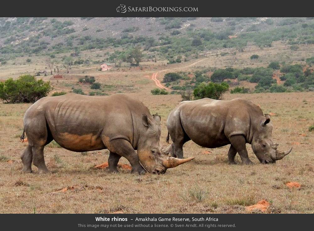 White rhinos in Amakhala Game Reserve, South Africa