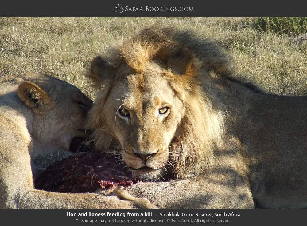 Lion and lioness feeding from a kill in Amakhala Game Reserve, South Africa