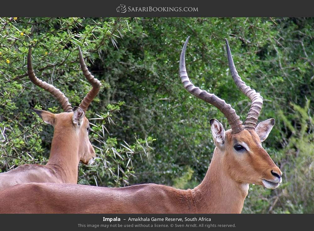 Impala in Amakhala Game Reserve, South Africa