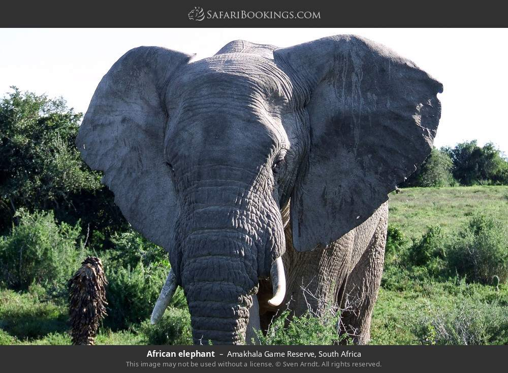 African elephant in Amakhala Game Reserve, South Africa