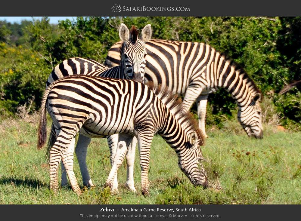 Zebra in Amakhala Game Reserve, South Africa
