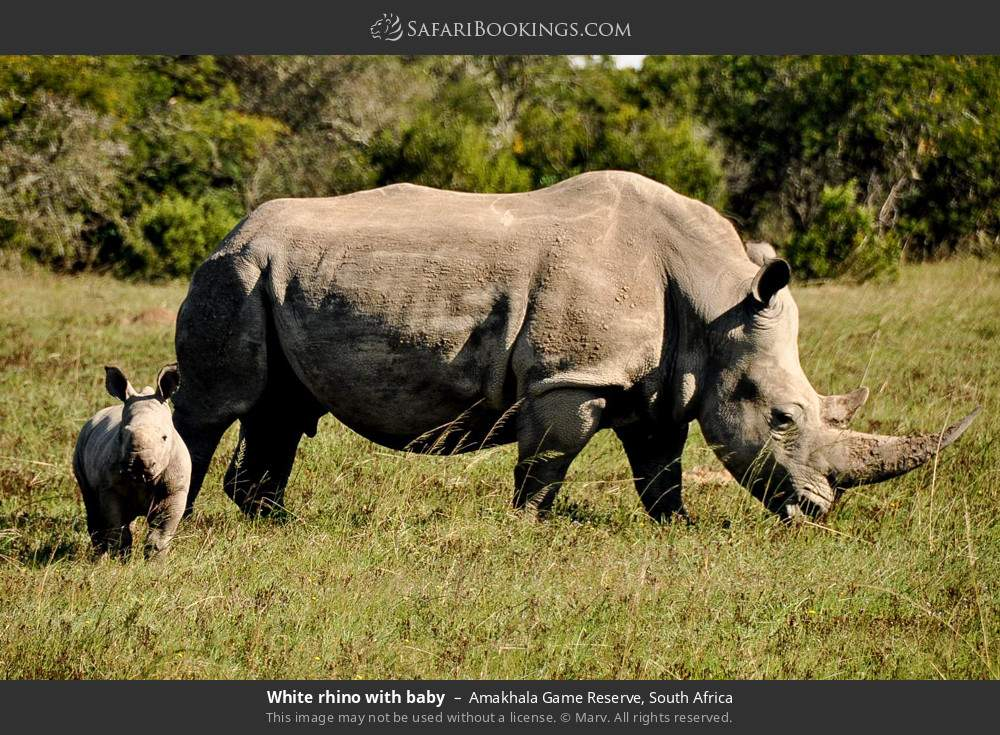 White rhino with baby in Amakhala Game Reserve, South Africa