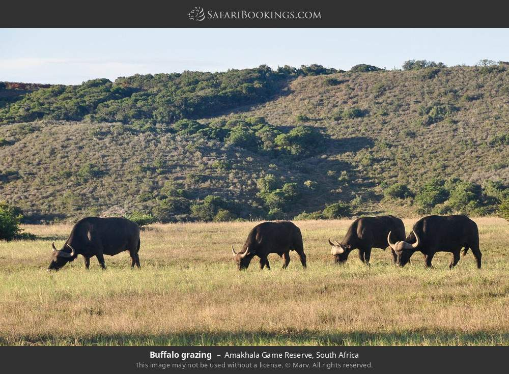 Buffalo grazing in Amakhala Game Reserve, South Africa