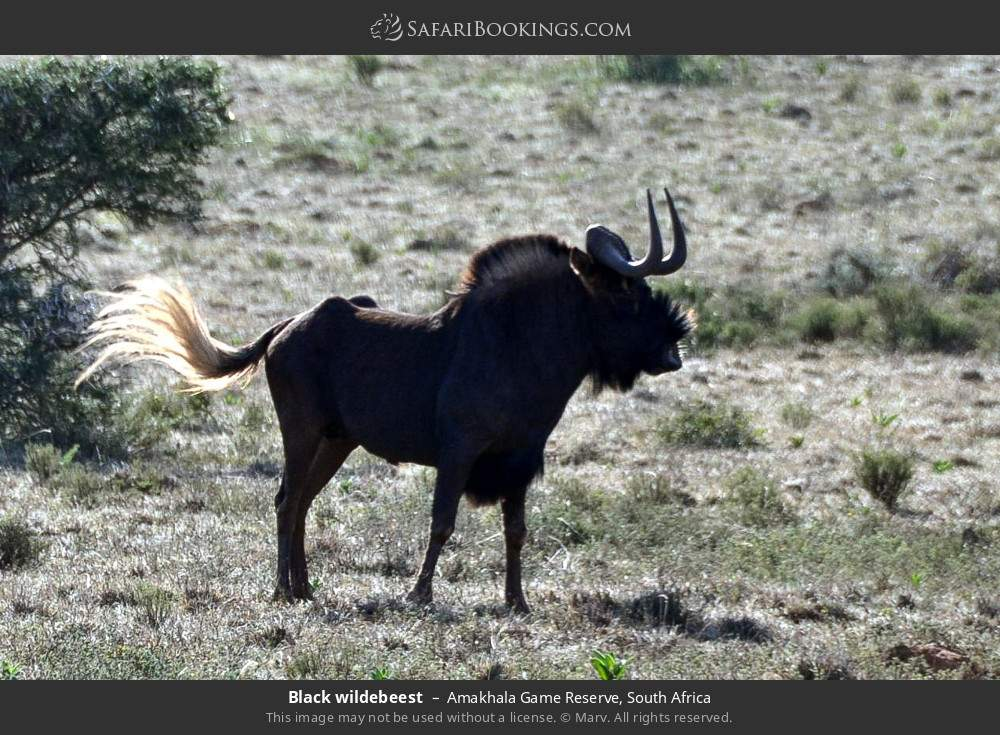 Black wildebeest in Amakhala Game Reserve, South Africa