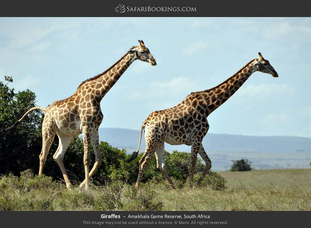 Giraffes in Amakhala Game Reserve, South Africa