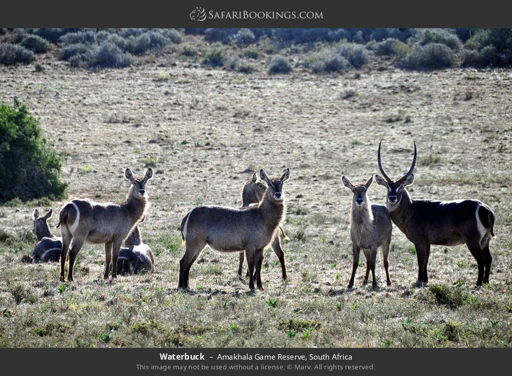 Waterbuck in Amakhala Game Reserve, South Africa