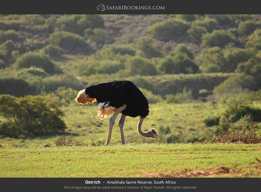 Ostrich in Amakhala Game Reserve, South Africa